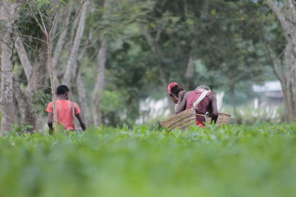 Tea pickers with  big baskets, in field of tea with lush tree trunks and foliage in background, blurred green foreground