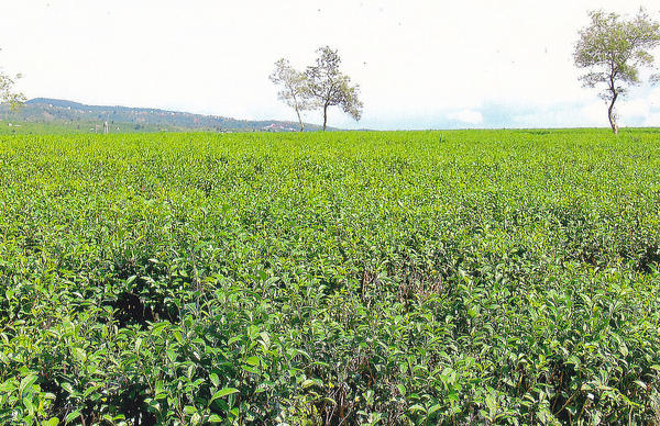 Vast, uniform expanse of tea plants in a field, two sparse trees in background, low hills behind on the left