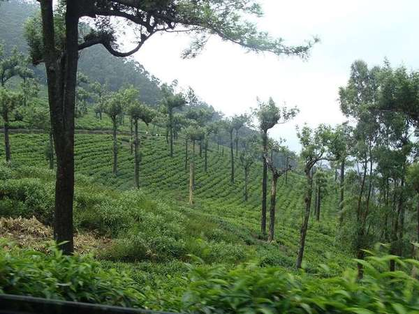 Rows of tea plants on a slope, with numerous trees with straight trunks and tiny tufts of leaves at the top