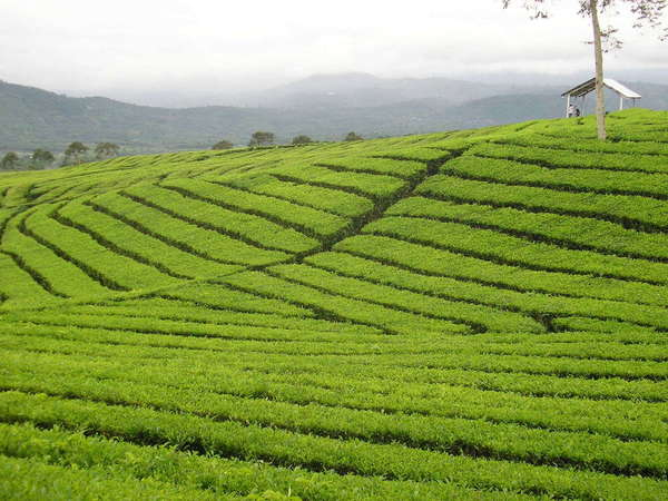 Neat rows of tea on a gently sloping hillside, with misty mountains in the background