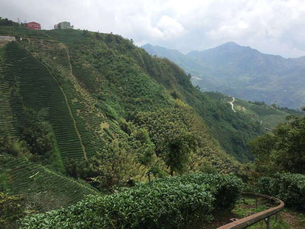 Rows of tea growing on extremely steep slopes, mountains in background under a cloudy sky