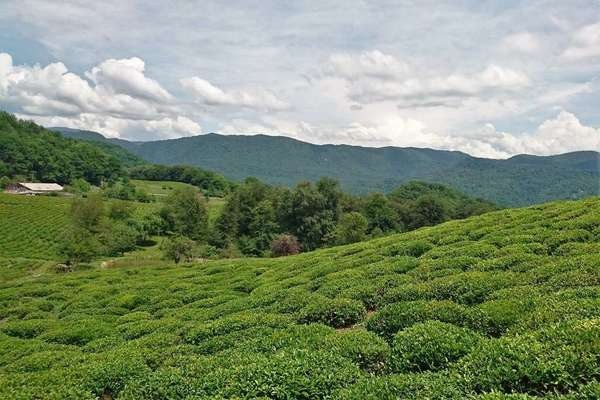 Round, bushy tea plants in a plantation, low forested mountains in the background, under a cloudy sky
