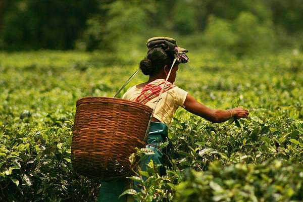 Woman leaning away from the camera to pick tea, large basket on her back
