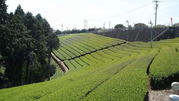 Neat rows of tea following the contour of a hillside into the distance, some trees to the left.