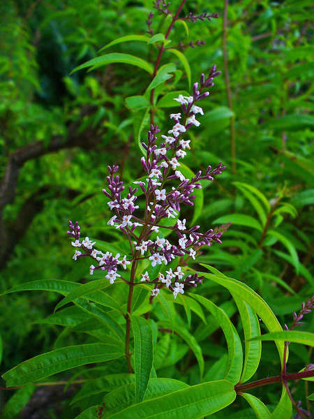 Plant with bright white-lavender blossoms on purple stalk, with long, narrow, opposite spearlike leaves, in lush, green setting