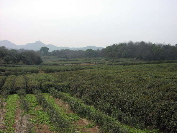 Field of tea on a hazy day, with newly planted rows of young plants in the foreground