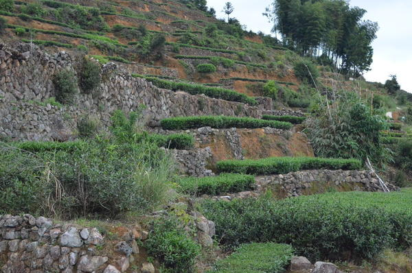 Neat, flat-topped rows of tea plants in terraces with stone walls on a hillside