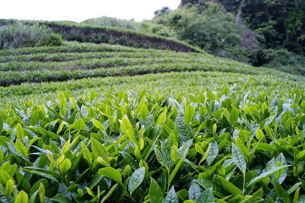 Gently-arching rows of tea plants with closeup of leaves and shoots in foreground