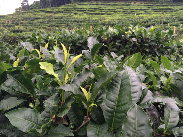 Closeup of very large-leafed tea plants in foreground, rows of tea in background