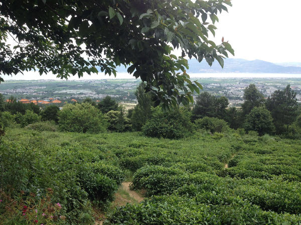 Gently sloping field with rounded tea bushes, with flat, populated valley in distance, mountains behind