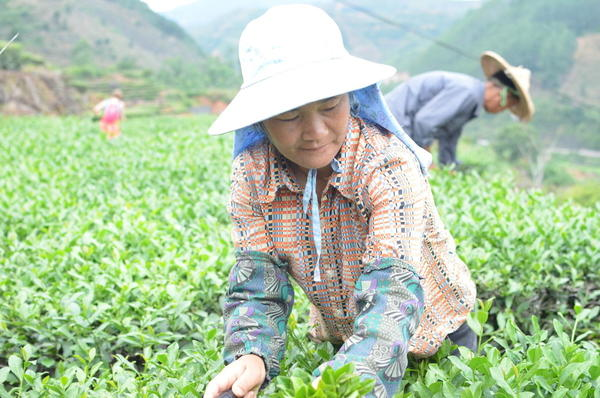 Woman picking tea in a bright green field of tea, hilly landscape in the background