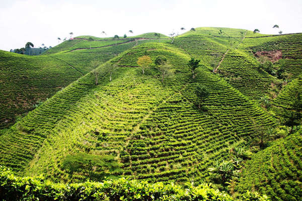 Very tall hills completely covered  with rows of tea plantations, only a few scattered trees about