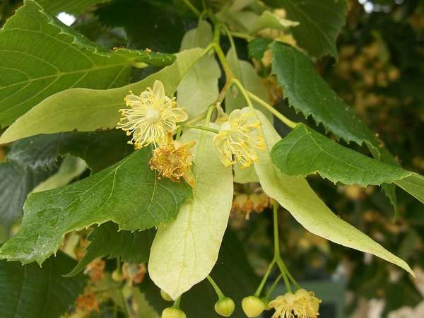 Linden leaves and flowers, showing small, yellow flowers and much larger leaves, long, oval-shaped, pale-yellow leaf-like bracts at base of each flower