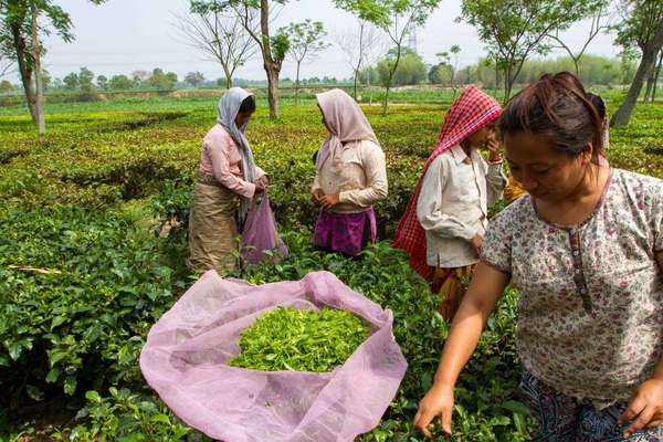 Four women in a field of tea, plucking leaves and buds and collecting them in large bags