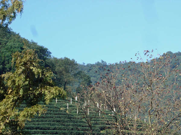 Tea growing on terraces in neat rows on a hillside, numerous trees about