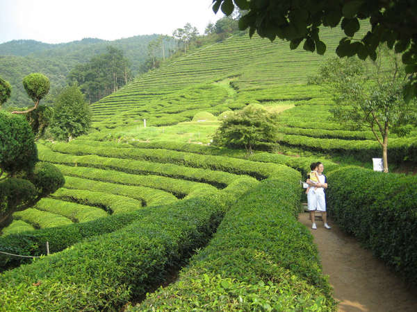 Bright yellow-green rows of tea plants gently curve along a hillside, a woman standing in the path holds a child, scattered trees around