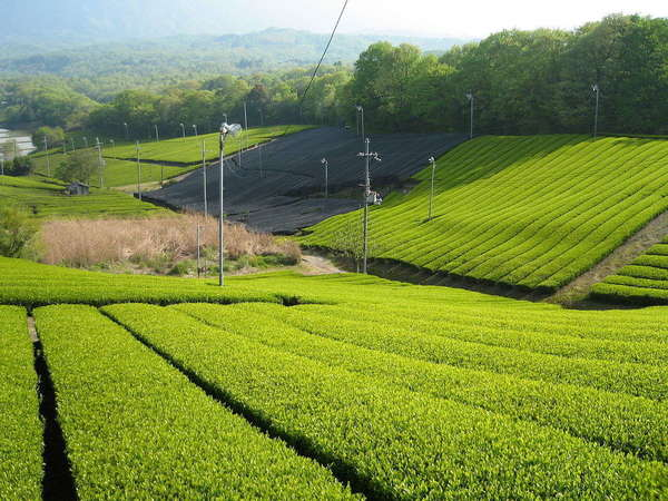 Bright yellow-green tea plantation in neat rows on gentle hillsides, with similarly-colored forested landscape in distance