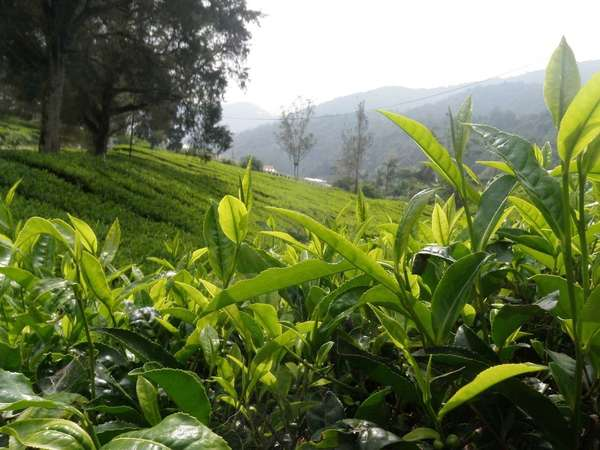 Tea plantation on a lush, green hillside with closeup of tea shoots in foreground, misty mountains in background