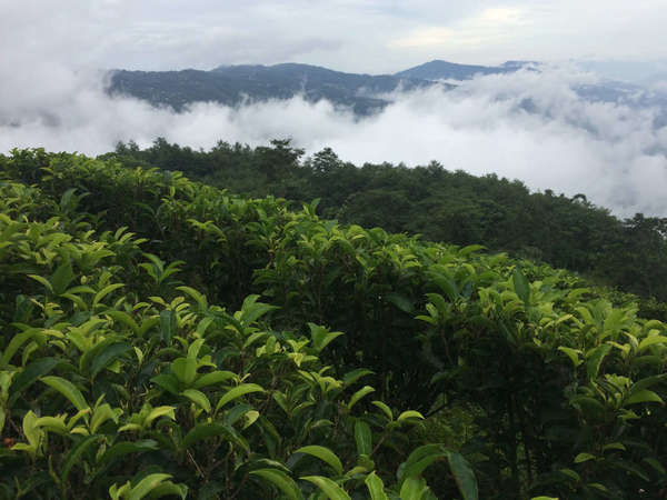 Dark rows of lush, green tea plants with dense fog and clouds, mountains in background