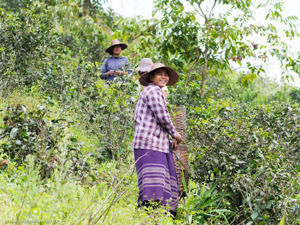 Two tea pickers, one wearing a bright purple outfit and smiling, wearing wide-brimmed hats, in an overgrown tea plantation on a hillside