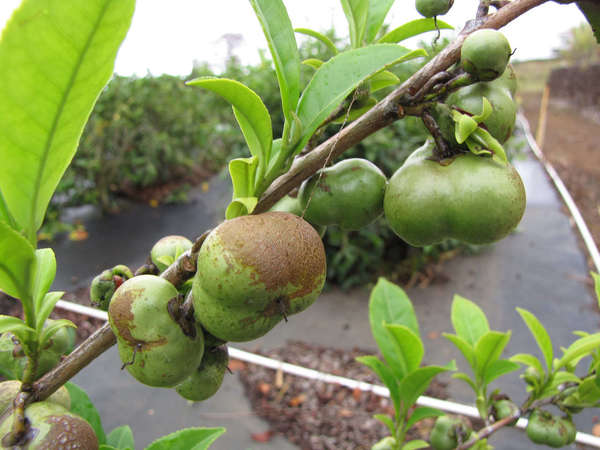 Fruit of tea plants, on the bush, looking like small, green, irregularly-shaped apples