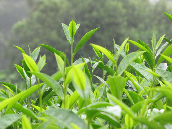 Growing tea shoots, showing new leaves and buds, with blurry forested background
