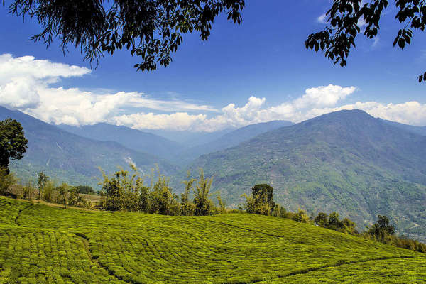 Removed view of tea estates with tiny rows of tea against massive mountains in background, under a vibrant blue sky