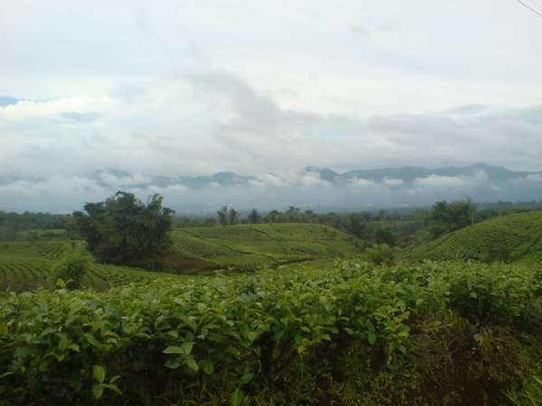 Tea plantations on gently rolling hills under a cloudy sky with low mountains in the background