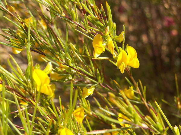 Plant with yellow-green needle-like leaves and bright yellow pea-like flowers