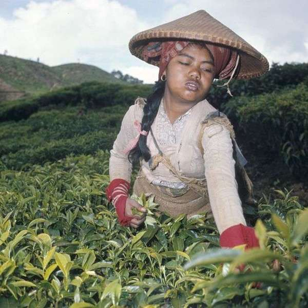 Woman with pointed hat plucking tea in a hilly tea plantation