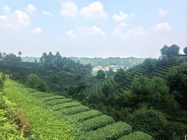 Neat rows of tea plants and scattered trees on picturesque hillside