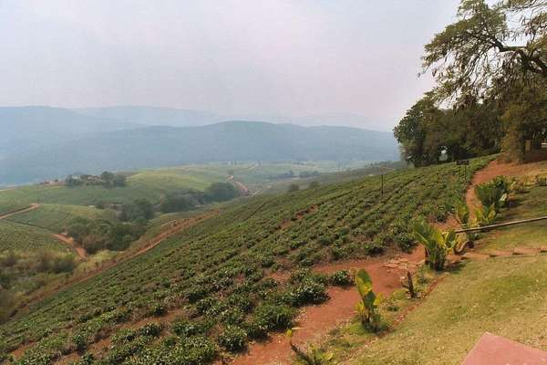 Newly planted tea plants in rows on a hillside with orange-brown soil, hills in distance under a hazy sky