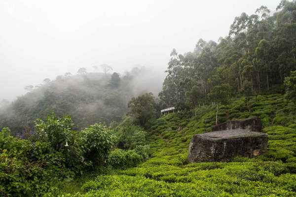 Rows of tea plantation disappearing into a fog-covered, partly-forested hillside in a mountainous area