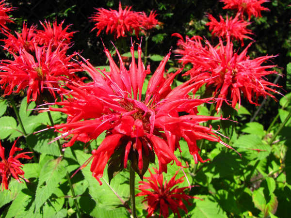 Spiky, red bee balm flowers, with green leaves in background