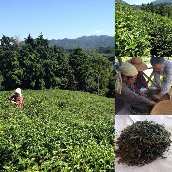 Collage of Tea Field, tea production, and finished green tea showing curvy, dark green leaf