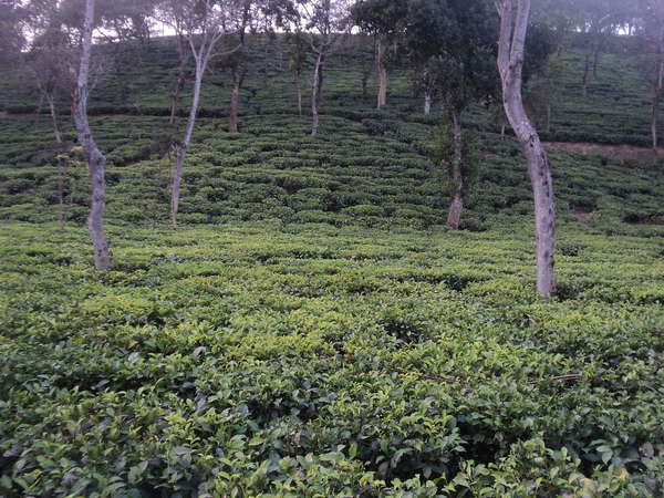 Dimly lit tea plantation with hillside rising in distance, scattered trees with slight twists in trunk