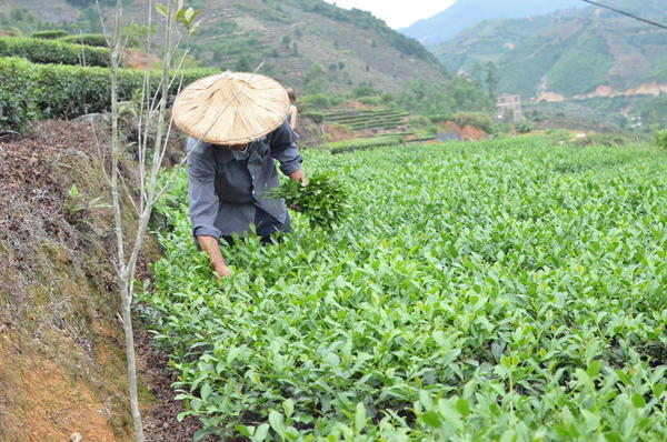Man picking tea in a field of tea, holding a bunch of leaves in his hand, mountainous scenery in background