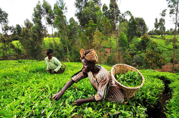 Two dark-skinned women picking tea in a plantation, baskets of leaves on their back, and bandanas in their hair
