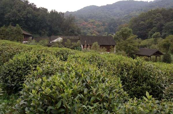 Dense tea shrubs in foreground, several buildings behind that, and lush forested hillsides in background