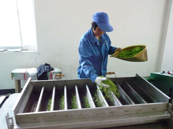 Person dressed in blue with a blue cap, shaking freshly-picked tea leaves from a basket into a row of small metal troughs in a plain, white room