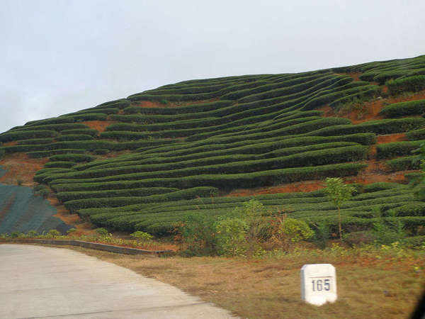 Eerily sterile-looking green rows of tea bushes on a hillside, showing exposed orange-brown soil, a road in the lower-left and a marker labeled 165
