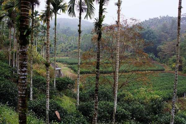Narrow palm tree trunks in foreground, fields of tea in a low-lying area behind that, against a tropical landscape