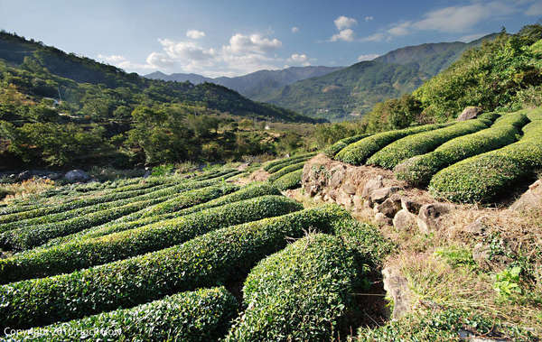 Round-topped rows of tea bushes with a stone wall, in a mountainous landscape