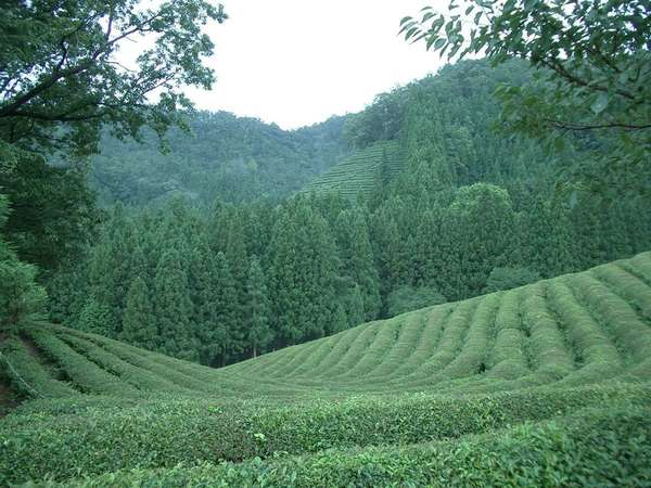 Uniformly-green landscape with rows of tea plants in the foreground and lush, conical trees on rising in the background