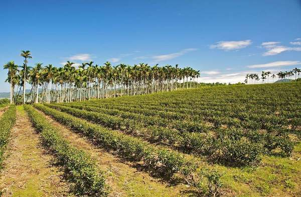 Sparse rows of small tea plants against yellowish soil, a row of tall palms in the distance, under a blue sky