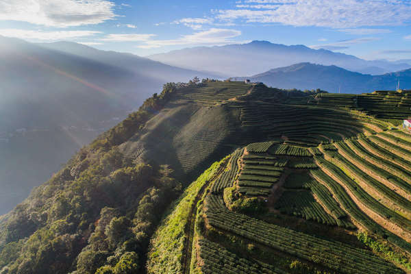 Overhead view of terraced tea fields in mountains, sun rays shining from the left