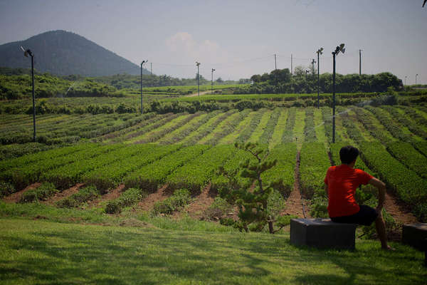 Guy wearing a red shirt in front of a field of very low tea bushes, green mountain in background