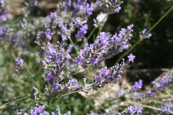 Lavender flowers on stalks, dark background on right, green on left