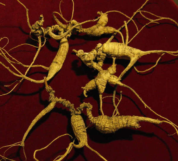 Yellow, branching, slightly wrinkled roots with narrow roots spreading from the edges, on a crimson background