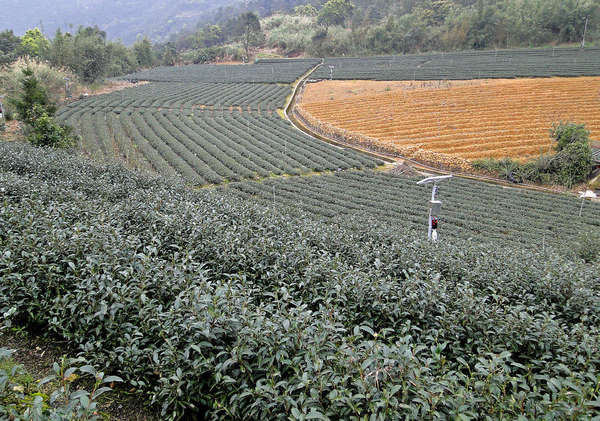 Rows of tea plants in a crescent shape, with one area showing barren ground yet to be planted